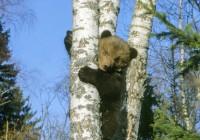 Kuigi loo autorist ei saanud karu-uurijat, on tema teed nii mõnegi karuga ristunud. Ta on langenud isegi karupoja rünnaku ohvriks.