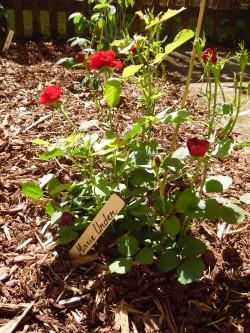 Marie Underi nimeline roos tema koduaias. Fotod: Mari Klein